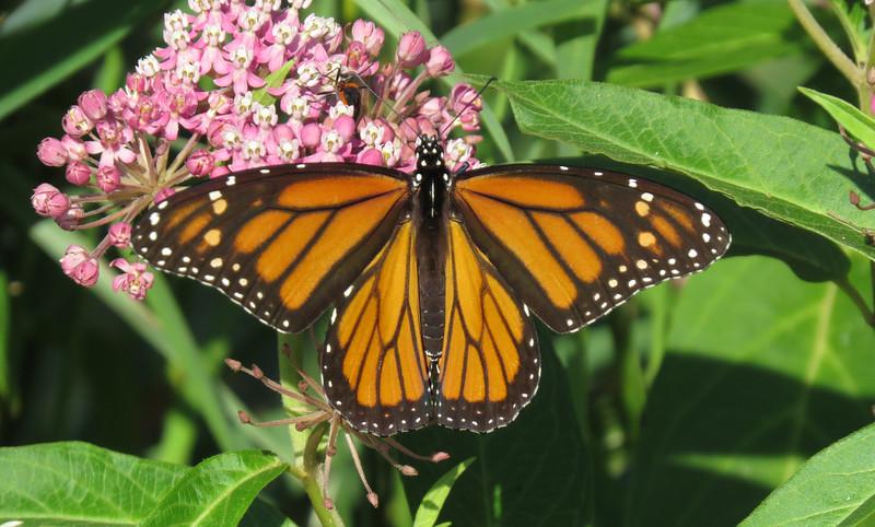 IMAGE: https://ohiohick.smugmug.com/Animals/Wildlife/CIT-pics/i-t68bjnw/0/L/2015_07%20%28358%29_crop01-L.jpg