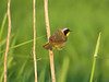 Commonn Yellowthroat