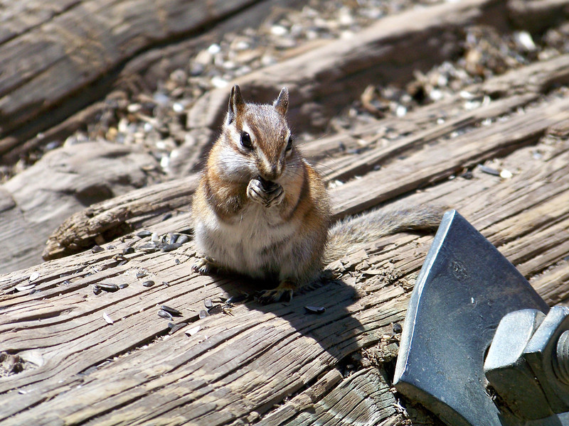 Tiny chipmunk or giant bolt?  St. Elmo, Colorado.