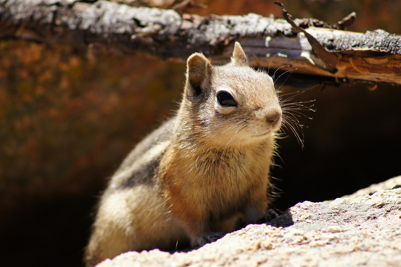 A friendly Chipmunk near Ouzel Falls, Rocky Mountain National Park, Colorado.
