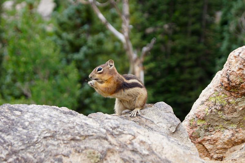 A Chipmunk enjoying a snack, near Dream Lake, Rocky Mountain National Park, Colorado.