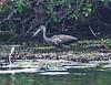 Limpkin (New River, Belize)