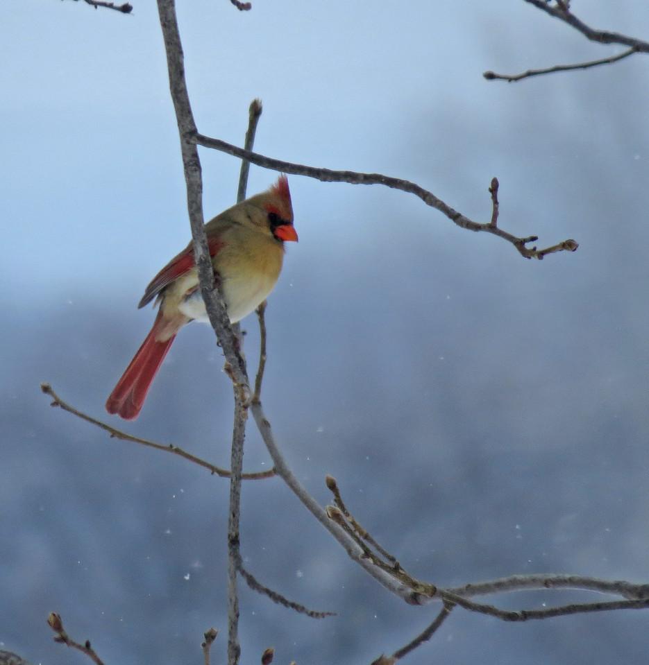 IMAGE: https://photos.smugmug.com/Animals/Wildlife/Critters-Birds/i-5J7bDLg/0/ec5b1009/X2/2014_02%20%28403%29_edit01-X2.jpg