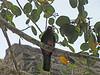 Slaty-tailed Trogon