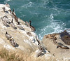 Brown Pelicans and Sea Lions (San Diego, CA)