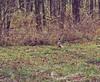 Pheasants at Spencer Lake