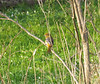 Northern Oriole (Baltimore race; female)