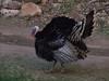 Wild Turkey, Zion National Park