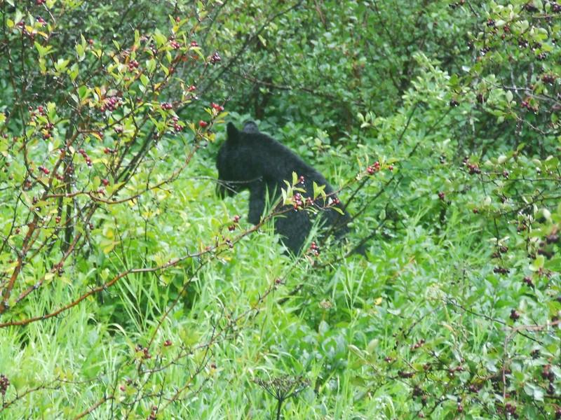 Red Bus Tour:  Black Bear along McDonald Creek