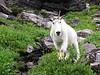 Hi.  I'm a Goat.