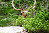 A Bull Elk hides behind brush near Emerald Lake; Rocky Mountain National Park, Colorado.