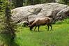 Note the perfect symmetry in the antlers of this Bull Elk, grazing near Emerald Lake, Rocky Mountain National Park, Colorado.
