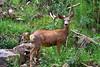 Deer in the Mount Evans-Bierstadt wilderness near Guanella Pass, Colorado.