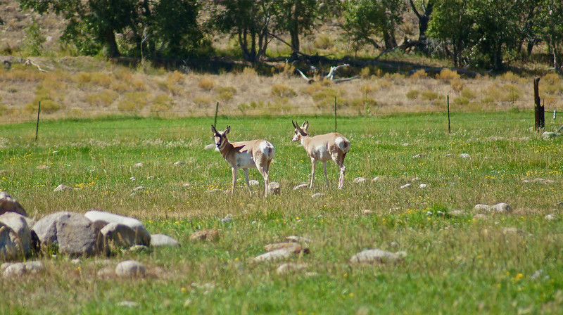 Pronghorns, the fastest mammals in the western hemisphere, graze in the Arkansas Valley southwest of Buena Vista, Colorado.