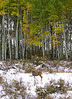 A mule deer roams among tall aspens, near Ridgway in the Colorado San Juan Mountains
