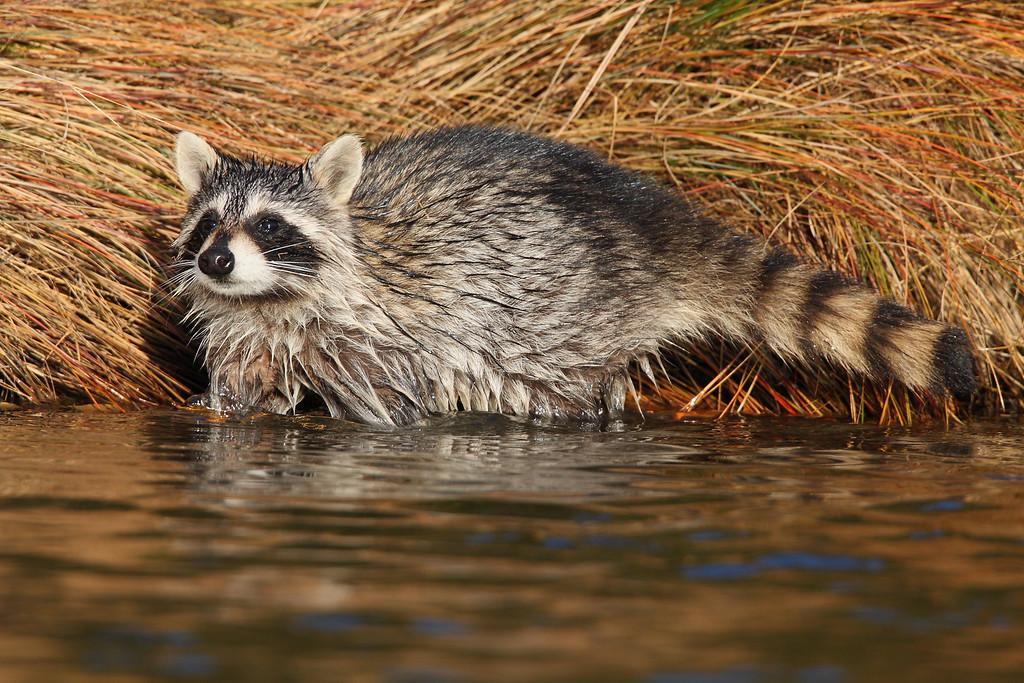 IMAGE: http://www.mikeswildlife.com/Animals/Wildlife/MG3028/1114175517_4JvDx-XL.jpg