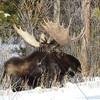Bull Moose Resting