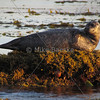 Harbor seal basking in the sunrise at Monterey, CA
