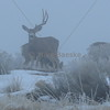 Mule Deer Missing Antler