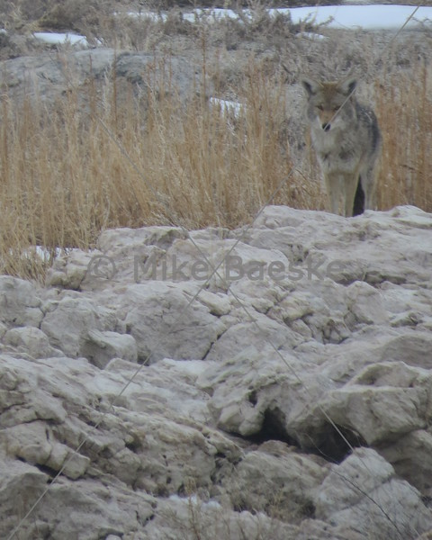 Coyote on Antelope Island