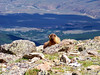 A Marmot sits on the summit of Mt. Oxford (14,153 ft.), Colorado Sawatch Range
