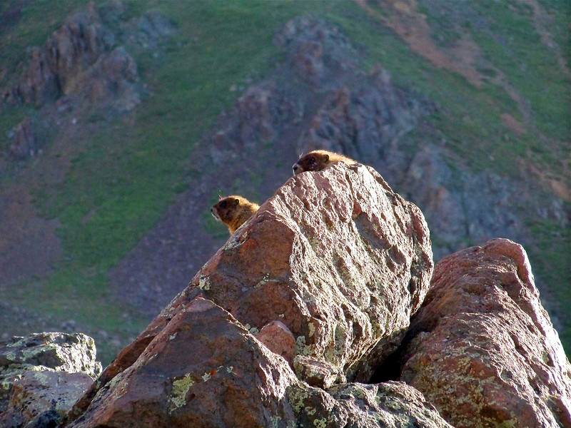 Marmots watch the hikers pass by on the east slopes of Wetterhorn Peak; Colorado San Juans