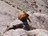 Just off the Tabeguache summit, this marmot sits high above McCoy gulch.