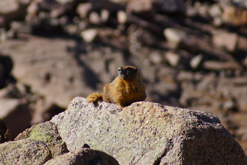 A marmot on the west slopes of Sunlight Peak above Twin Lakes, Colorado San Juans.