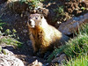 A curious Marmot emerges from his shelter along Silver Creek beneath Redcloud Peak, Colorado San Juan Range.