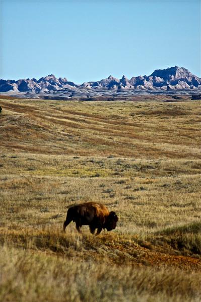 Bison in the Sage Creek Wilderness; Badlands, South Dakota.
