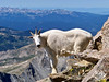 Just off the Mt. Harvard summit, this Mountain Goat stops for a pose.  Colorado Sawatch Range
