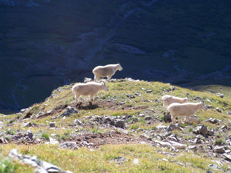Mountain Goats graze at 11,800 ft. on the east slopes of Maroon Peak, Colorado Elk Range