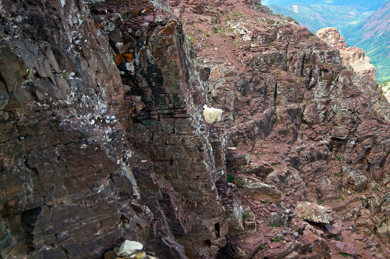 As we surveyed the cliff walls for a way down, this Mountain Goat poked his head out of an unseen crack.  Pyramid Peak; Colorado Elk Range.
