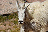A big ol' Mountain Goat, up close and personal, at Twin Lakes, Chicago Basin; Colorado San Juan Range