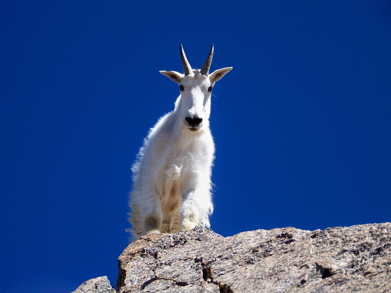 This friendly Mountain Goat appeared on the summit rock of Mt. Harvard (14,420 ft.), Colorado.