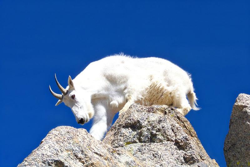 Mountain Goat climbing off the summit of Mt. Harvard (14,420 ft.), Colorado