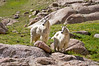 Twin Mountain Goats at Twin Lakes; Colorado San Juan Range