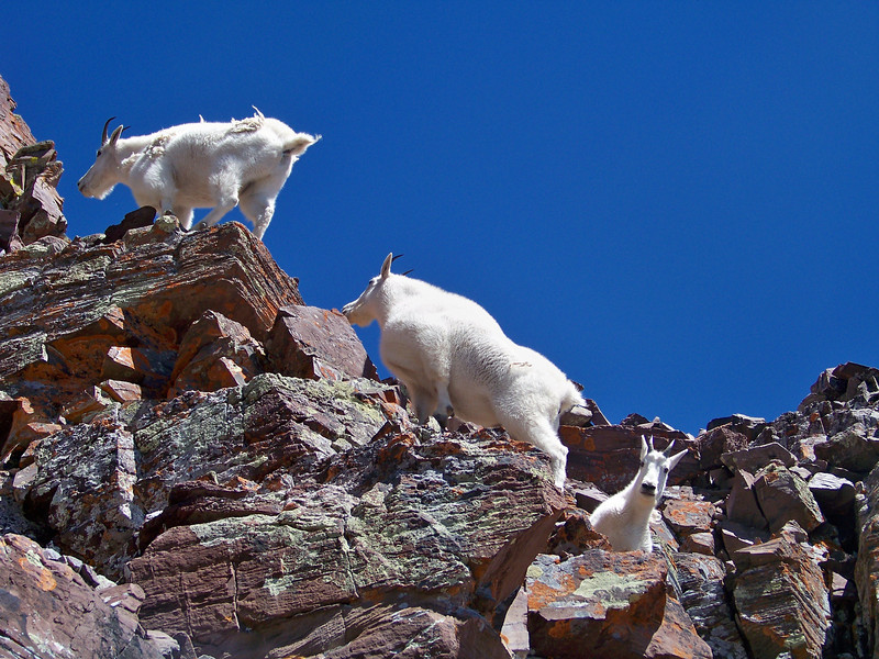 Mountain Goats easily scramble along the Maroon Peak south ridge at 13,800 ft., Colorado Elk Range