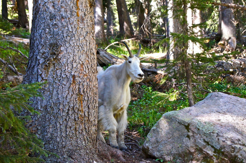 Surprise campsite visitor!  Chicago Basin; Colorado San Juan Range