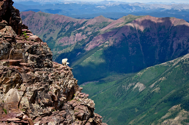 "Called by one climber, ""a Mountain Goat petting zoo,"" Pyramid Peak is crowded with these nimble, rock-kicking cliff dwellers; Colorado Elk Range."