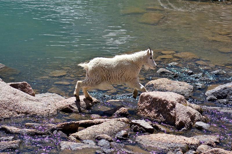 A young Mountain Goat skips across ponds at Twin Lakes, Chicago Basin; Colorado San Juan Range