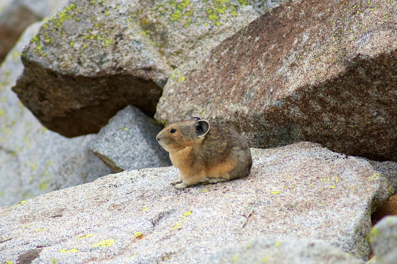 A tiny Pika on the vast rocky east slope of Snowmass Mountain; Colorado Elk Range