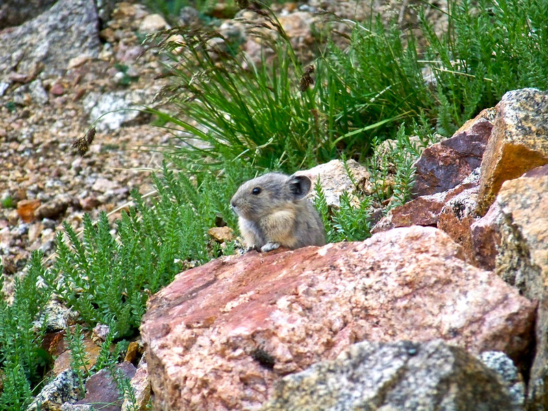 Baby Pika on the west slopes of Mt. Evans, Colorado Front Range