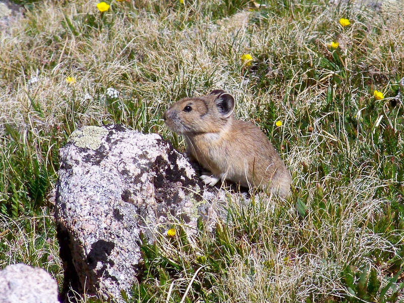 Pika basking in the sun, northwest basin of Huron Peak, Colorado Sawatch Range