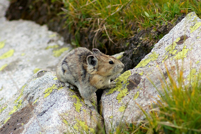 A Pika scurries over rocks on the vast east slope of Snowmass Mountain; Colorado Elk Range