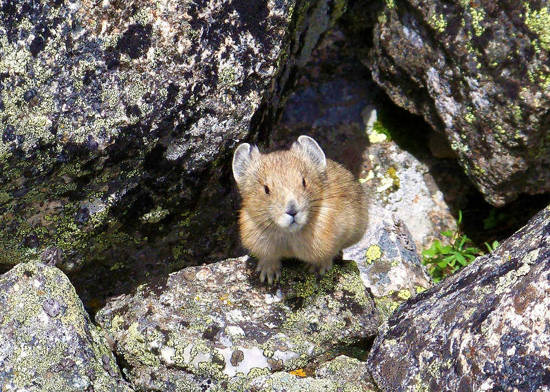 A baby Pika makes a rare appearance; Elkhead Pass, Mt. Belford.