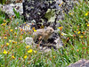 A baby Pika at home among the alpine wildflowers, Elkhead Pass, Colorado Sawatch Range