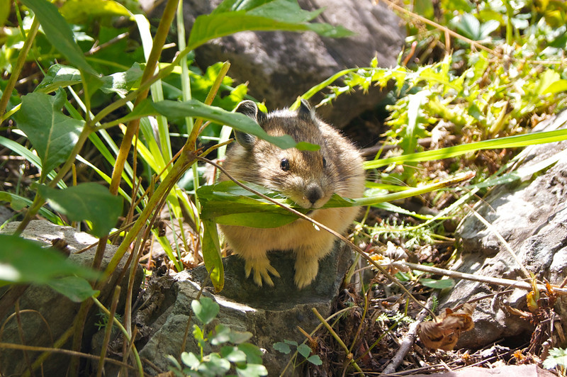 A Pika busy gathering stores for the coming winter; Colorado Maroon Bells wilderness.