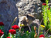 A tiny Pika scurries among wildflowers on the east slopes of Wetterhorn Peak, Colorado San Juans