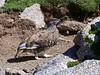 Ptarmigan scampering for the rocks, Mt. Shavano, Colorado Sawatch Range